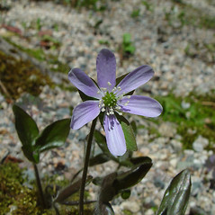 Flowers: Anemone acutiloba. ~ By Arthur Haines. ~ Copyright © 2021. ~ arthurhaines[at]wildblue.net