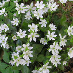 Flowers: Anemone acutiloba. ~ By Bruce Patterson. ~ Copyright © 2021 Bruce Patterson. ~ foxpatterson[at]comcast.net