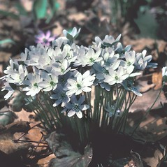 Flowers: Anemone acutiloba. ~ By David Stone. ~ Copyright © 2021 New England Wild Flower Society. ~ Image Request, images[at]newenglandwild.org