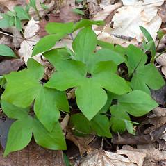 Leaves: Anemone acutiloba. ~ By Ben Kimball. ~ Copyright © 2020 Ben Kimball. ~ alpinefin[at]comcast.net