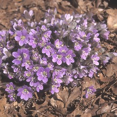 Flowers: Anemone americana. ~ By Dorothy Long. ~ Copyright © 2020 New England Wild Flower Society. ~ Image Request, images[at]newenglandwild.org
