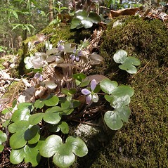 Leaves: Anemone americana. ~ By Douglas McGrady. ~ Copyright © 2020 Douglas McGrady. ~ demcgrady[at]hotmail.com