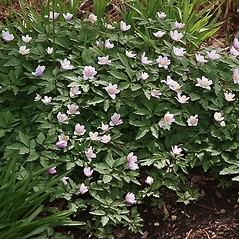 Plant form: Anemone nemorosa. ~ By Paul S. Drobot. ~ Copyright © 2020 Paul S. Drobot. ~ www.plantstogrow.com, www.plantstockphotos.com ~ Robert W. Freckmann Herbarium, U. of Wisconsin-Stevens Point