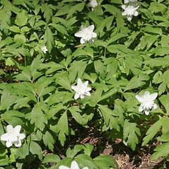 Leaves: Anemone nemorosa. ~ By Charles Brun. ~ Copyright © 2020. ~ brunc[at]wsu.edu ~ Pacific Northwest Plants - www.pnwplants.wsu.edu/