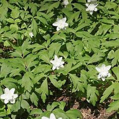 Leaves: Anemone nemorosa. ~ By Charles Brun. ~ Copyright © 2021. ~ brunc[at]wsu.edu ~ Pacific Northwest Plants - www.pnwplants.wsu.edu/