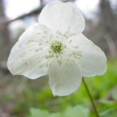 Flowers: Anemone quinquefolia. ~ By Glen Mittelhauser. ~ Copyright © 2021 Glen Mittelhauser. ~ www.mainenaturalhistory.org