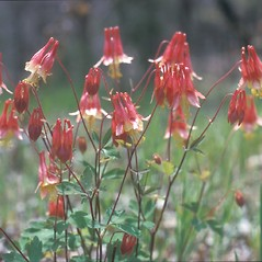 Flowers: Aquilegia canadensis. ~ By Frank Bramley. ~ Copyright © 2020 New England Wild Flower Society. ~ Image Request, images[at]newenglandwild.org