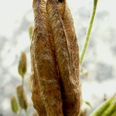 Fruits: Aquilegia vulgaris. ~ By Franco Giordana. ~ Copyright © 2019 Franco Giordana. ~ francogrd[at]gmail.com ~ Acta Plantarum -  www.actaplantarum.org