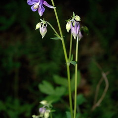 Plant form: Aquilegia vulgaris. ~ By Ben Kimball. ~ Copyright © 2020 Ben Kimball. ~ alpinefin[at]comcast.net