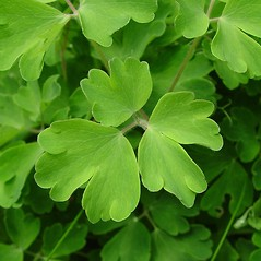 Leaves: Aquilegia vulgaris. ~ By Arthur Haines. ~ Copyright © 2020. ~ arthurhaines[at]wildblue.net