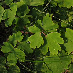 Leaves: Aquilegia vulgaris. ~ By Marilee Lovit. ~ Copyright © 2020 Marilee Lovit. ~ lovitm[at]gmail.com