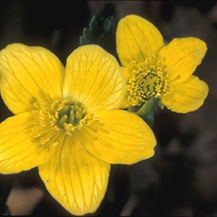 Flowers: Caltha palustris. ~ By Adelaide Pratt. ~ Copyright © 2021 New England Wild Flower Society. ~ Image Request, images[at]newenglandwild.org