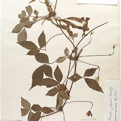Plant form: Clematis florida. ~ By William and Linda Steere and the C.V. Starr Virtual Herbarium. ~ Copyright © 2020 William and Linda Steere and the C.V. Starr Virtual Herbarium. ~ Barbara Thiers, Director; bthiers[at]nybg.org ~ C.V. Starr Herbarium - NY Botanical Gardens