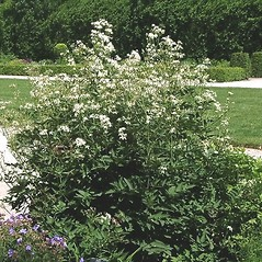 Plant form: Clematis recta. ~ By Paul S. Drobot. ~ Copyright © 2020 Paul S. Drobot. ~ www.plantstogrow.com, www.plantstockphotos.com ~ Robert W. Freckmann Herbarium, U. of Wisconsin-Stevens Point