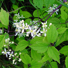 Leaves: Clematis virginiana. ~ By Arthur Haines. ~ Copyright © 2020. ~ arthurhaines[at]wildblue.net