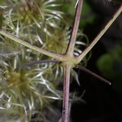 Stems: Clematis virginiana. ~ By Steven Baskauf. ~ Copyright © 2021 CC-BY-NC-SA. ~  ~ Bioimages - www.cas.vanderbilt.edu/bioimages/frame.htm
