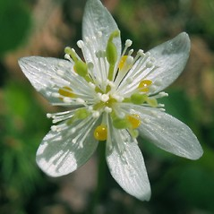 Flowers: Coptis trifolia. ~ By Marilee Lovit. ~ Copyright © 2020 Marilee Lovit. ~ lovitm[at]gmail.com