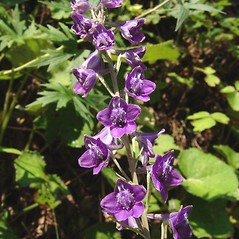 Flowers: Delphinium exaltatum. ~ By Michael Hassler. ~ Copyright © 2020 Michael Hassler. ~ Requests for image use not currently accepted by copyright holder ~ Flowering Plants of Pennsylvania - www.botanik.uni-karlsruhe.de/FloraKA/PA/list.php