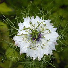Flowers: Nigella sativa. ~ By Polly Ryan-Lane. ~ Copyright © 2020 Polly Ryan-Lane, Courtesy of Smith College, Michael Marcotrigiano [mmarcot[at]smith.edu]. ~ Michael Marcotrigiano, mmarcotr[at]smith.edu ~ The Botanic Garden of Smith College - www.smith.edu/garden/home.html