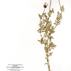 Fruits: Nigella sativa. ~ By CONN Herbarium. ~ Copyright © 2019 CONN Herbarium. ~ Requests for image use not currently accepted by copyright holder ~ U. of Connecticut Herbarium - bgbaseserver.eeb.uconn.edu/