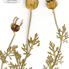 Plant form: Nigella sativa. ~ By CONN Herbarium. ~ Copyright © 2019 CONN Herbarium. ~ Requests for image use not currently accepted by copyright holder ~ U. of Connecticut Herbarium - bgbaseserver.eeb.uconn.edu/
