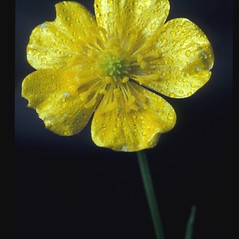 Flowers: Ranunculus acris. ~ By Albert Bussewitz. ~ Copyright © 2021 New England Wild Flower Society. ~ Image Request, images[at]newenglandwild.org