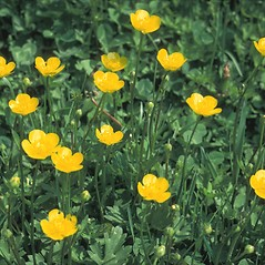 Flowers: Ranunculus acris. ~ By Frank Bramley. ~ Copyright © 2021 New England Wild Flower Society. ~ Image Request, images[at]newenglandwild.org