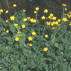 Plant form: Ranunculus acris. ~ By Albert Bussewitz. ~ Copyright © 2020 New England Wild Flower Society. ~ Image Request, images[at]newenglandwild.org