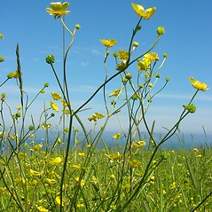 Plant form: Ranunculus acris. ~ By Glen Mittelhauser. ~ Copyright © 2020 Glen Mittelhauser. ~ www.mainenaturalhistory.org
