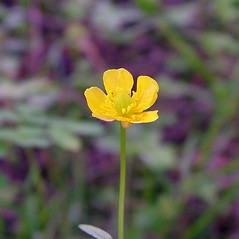 Flowers: Ranunculus caricetorum. ~ By Arthur Haines. ~ Copyright © 2021. ~ arthurhaines[at]wildblue.net