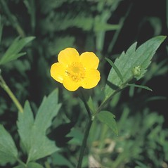 Flowers: Ranunculus caricetorum. ~ By Frank Bramley. ~ Copyright © 2021 New England Wild Flower Society. ~ Image Request, images[at]newenglandwild.org