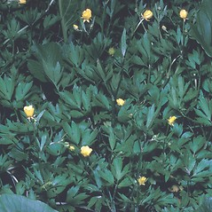 Leaves: Ranunculus caricetorum. ~ By Frank Bramley. ~ Copyright © 2021 New England Wild Flower Society. ~ Image Request, images[at]newenglandwild.org