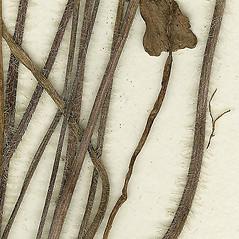 Stems: Ranunculus caricetorum. ~ By Missouri Botanical Garden. ~ Copyright © 2021 CC-BY-NC-SA. ~  ~ Tropicos, Missouri Botanical Garden - www.tropicos.org