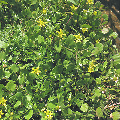 Plant form: Ranunculus cymbalaria. ~ By Marilee Lovit. ~ Copyright © 2020 Marilee Lovit. ~ lovitm[at]gmail.com