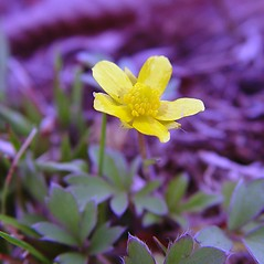 Flowers: Ranunculus fascicularis. ~ By Arthur Haines. ~ Copyright © 2021. ~ arthurhaines[at]wildblue.net