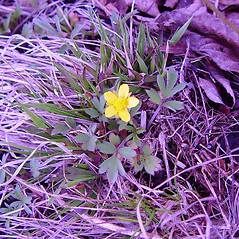 Plant form: Ranunculus fascicularis. ~ By Arthur Haines. ~ Copyright © 2021. ~ arthurhaines[at]wildblue.net