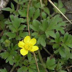 Plant form: Ranunculus fascicularis. ~ By Bruce Patterson. ~ Copyright © 2021 Bruce Patterson. ~ foxpatterson[at]comcast.net
