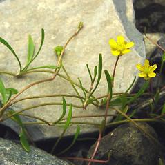 Plant form: Ranunculus flammula. ~ By Glen Mittelhauser. ~ Copyright © 2021 Glen Mittelhauser. ~ www.mainenaturalhistory.org