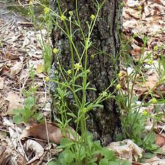 Plant form: Ranunculus micranthus. ~ By Douglas McGrady. ~ Copyright © 2021 Douglas McGrady. ~ demcgrady[at]hotmail.com