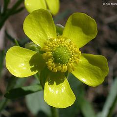 Flowers: Ranunculus rhomboideus. ~ By Keir Morse. ~ Copyright © 2021 Keir Morse. ~ www.keiriosity.com ~ www.keiriosity.com