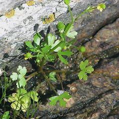 Leaves: Ranunculus sceleratus. ~ By Bill Nichols. ~ Copyright © 2020 Bill Nichols. ~ Bill.Nichols[at]dred.state.nh.us