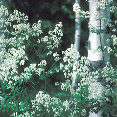 Flowers: Thalictrum dasycarpum. ~ By John Lynch. ~ Copyright © 2021 New England Wild Flower Society. ~ Image Request, images[at]newenglandwild.org