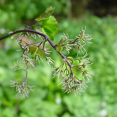 Flowers: Thalictrum dioicum. ~ By Arthur Haines. ~ Copyright © 2020. ~ arthurhaines[at]wildblue.net