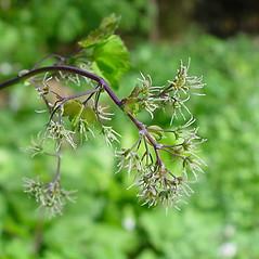 Flowers: Thalictrum dioicum. ~ By Arthur Haines. ~ Copyright © 2021. ~ arthurhaines[at]wildblue.net