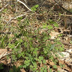 Plant form: Thalictrum dioicum. ~ By Bruce Patterson. ~ Copyright © 2020 Bruce Patterson. ~ foxpatterson[at]comcast.net
