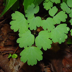 Leaves: Thalictrum dioicum. ~ By Arthur Haines. ~ Copyright © 2020. ~ arthurhaines[at]wildblue.net