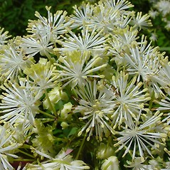 Flowers: Thalictrum pubescens. ~ By Glen Mittelhauser. ~ Copyright © 2020 Glen Mittelhauser. ~ www.mainenaturalhistory.org