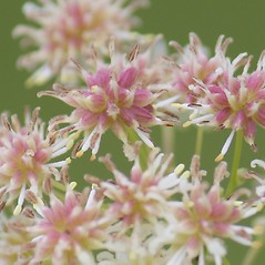 Fruits: Thalictrum pubescens. ~ By Mareike Conrad. ~ Copyright © 2020 Mareike Conrad. ~ mareike.conrad[at]googlemail.com