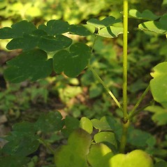 Stems: Thalictrum pubescens. ~ By Jill Weber. ~ Copyright © 2020 Jill Weber. ~ jillweber03[at]gmail.com