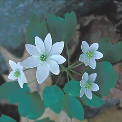 Flowers: Thalictrum thalictroides. ~ By Hal Horwitz. ~ Copyright © 2021 New England Wild Flower Society. ~ Image Request, images[at]newenglandwild.org